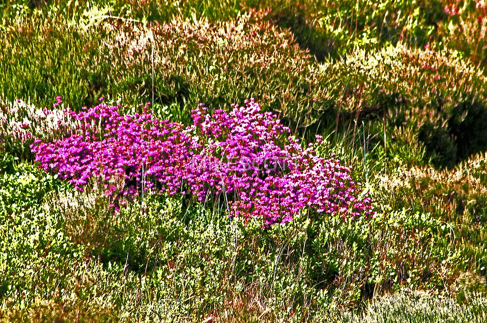 MOORLAND HEATHER by MIKESCOTT