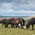 Dartmoor ponies by Stephen Liptrot