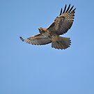 Hawk on the Hunt by Lawrence Henderson