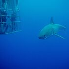 Caged Divers Watch a Great White Shark in Mexico by Brent Barnes