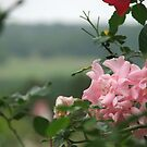 Pink Rose At Highland View by Leighton Jack