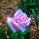 Purple moon rose  by Susanne Schmitz