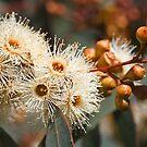 Beautiful Spring Eucalyptus Flowers by Joy Watson