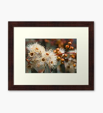 Beautiful Spring Eucalyptus Flowers Framed Print
