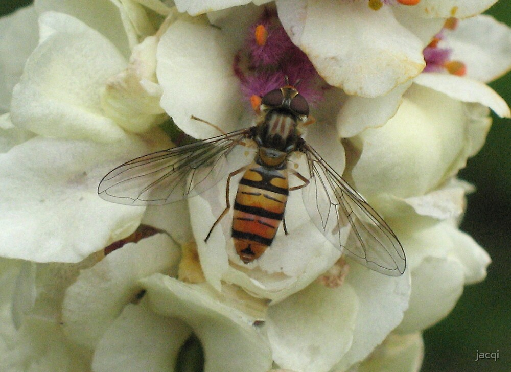 Hoverfly by jacqi