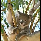Koala relaxing in a gum tree by quentinjlang