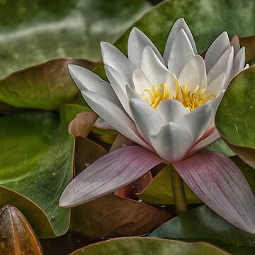Wimpole Waterlily by lisa1970