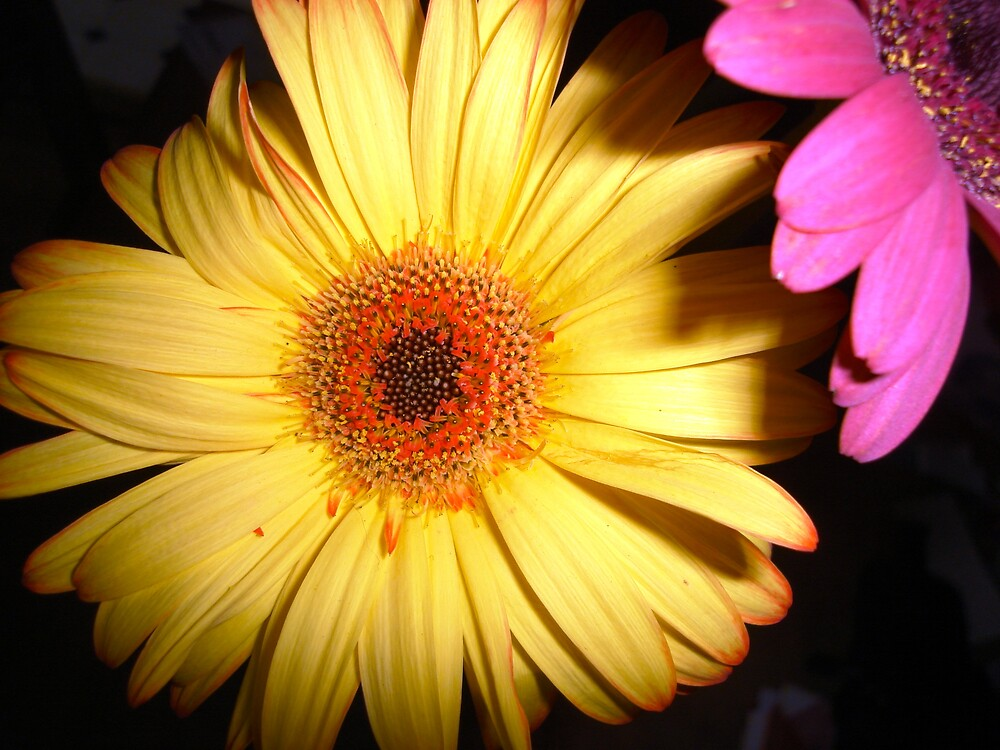 yellow daisies always hog the limelight by hubernews