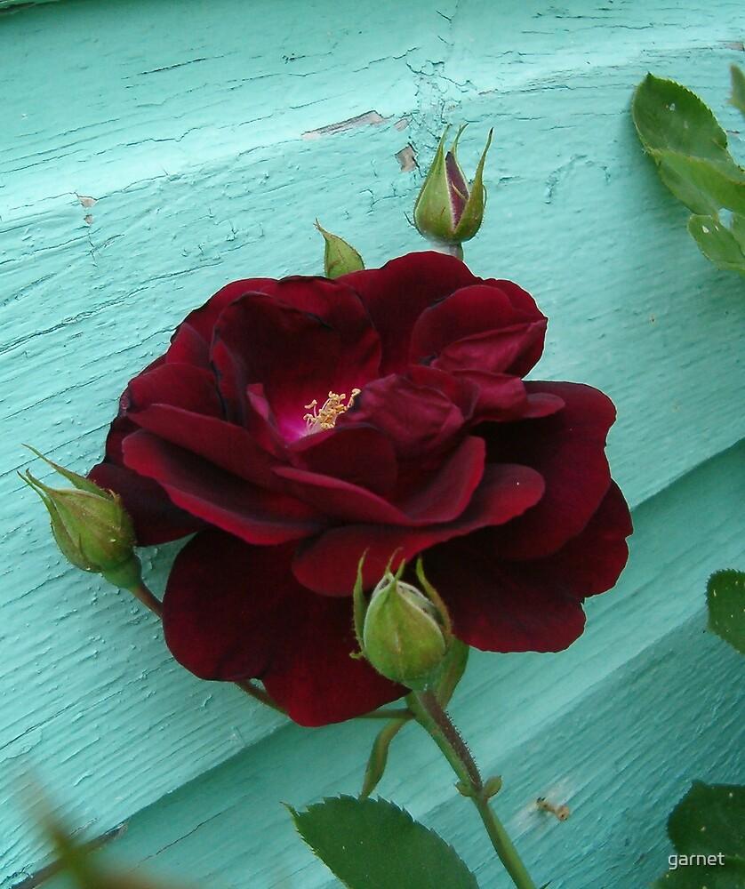 Rose by garnet