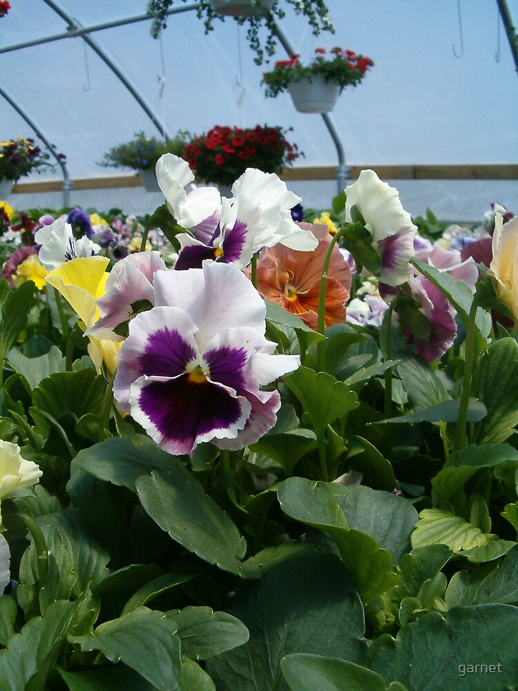 Pansies by garnet