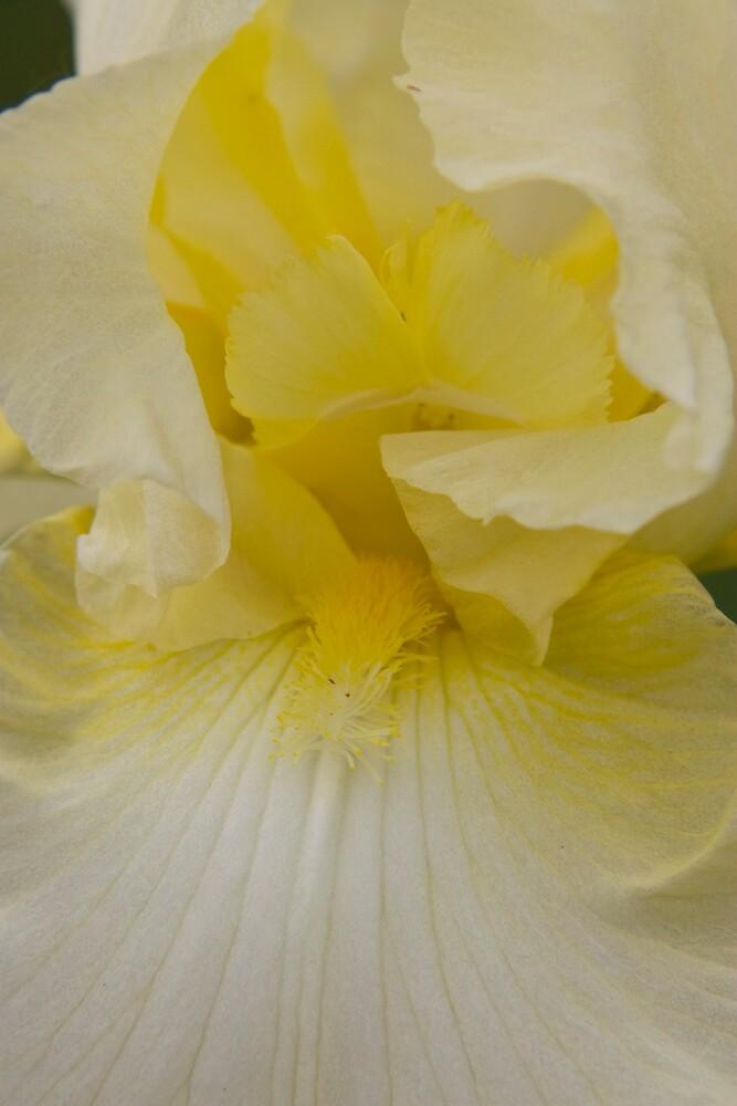 Pale Yellow Iris by OrPhotoJohn