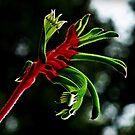 Kangaroo Paw  by myraj