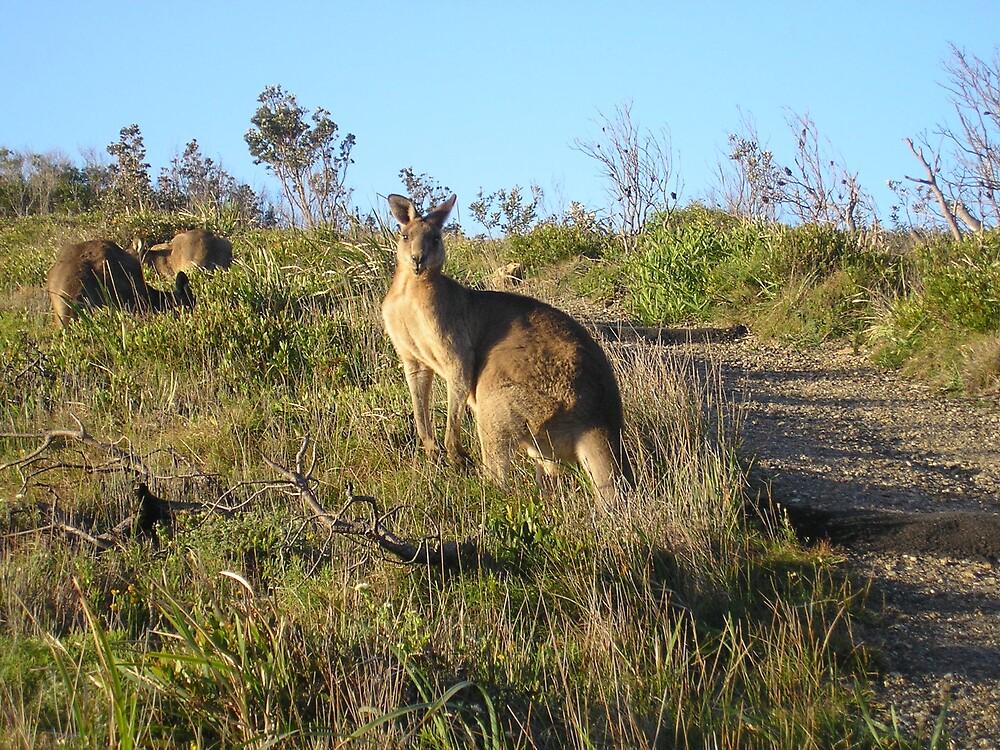 Daddy Kangaroo by Gracie Townsend