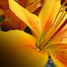 Lily  by Gemma27