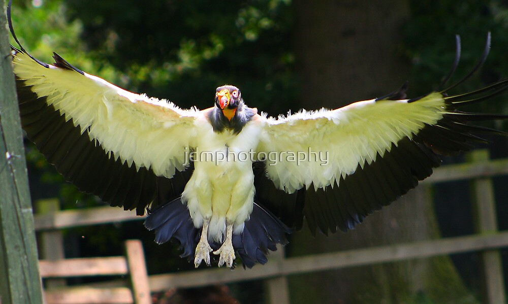 The King Vulture In flight.... by jdmphotography