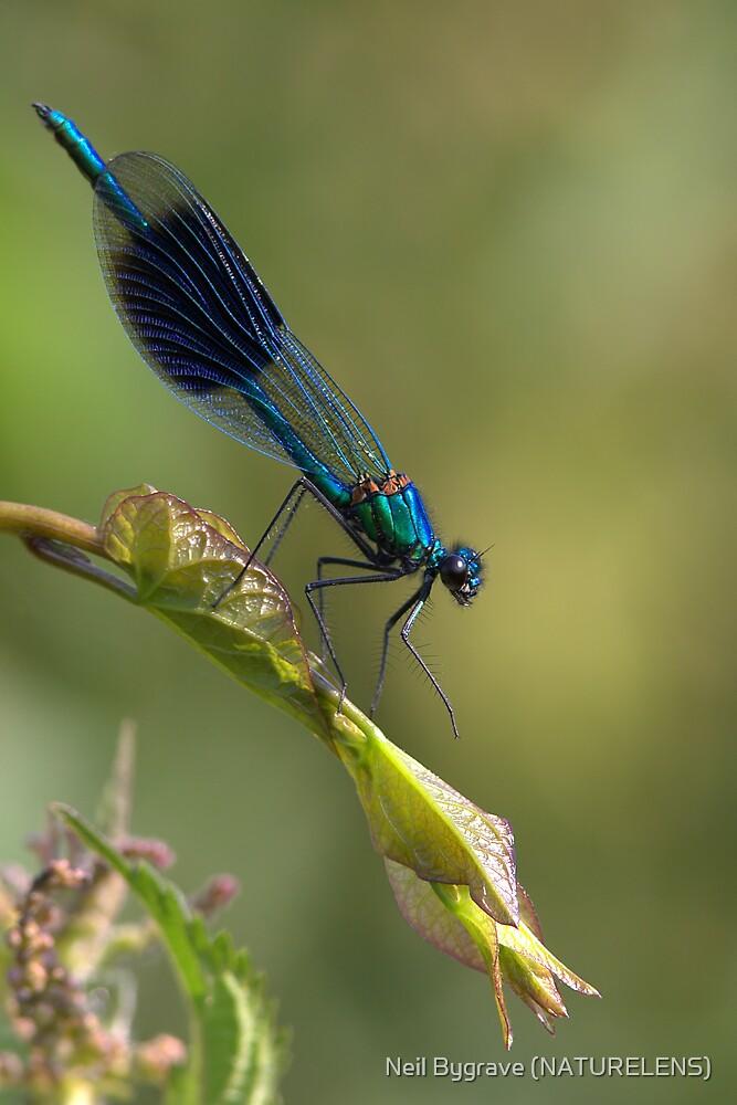 Male Banded Demoiselle by Neil Bygrave (NATURELENS)