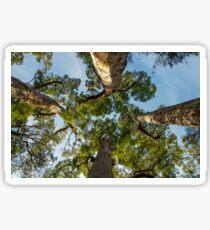 Giant Tingle Trees, Denmark, Western Australia Sticker