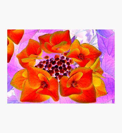 Glowing Hydrangea Photographic Print