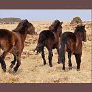 Exmoor ponies run free by bared