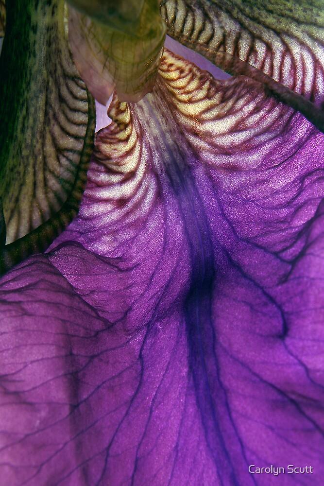 Iris by Carolyn Scutt