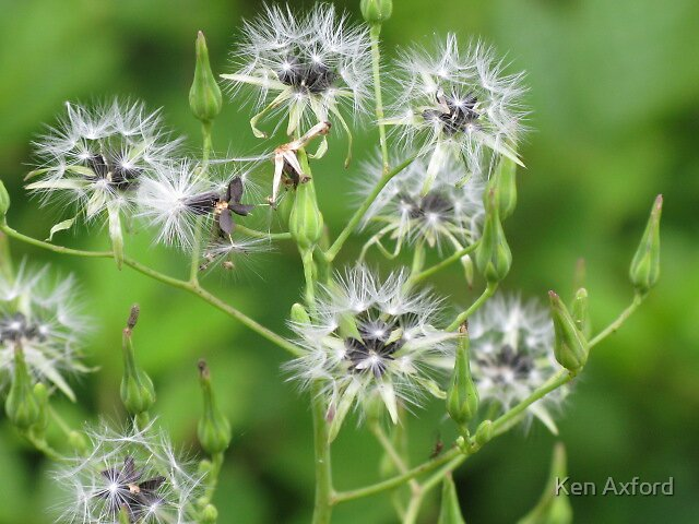 dandilion family by Ken Axford