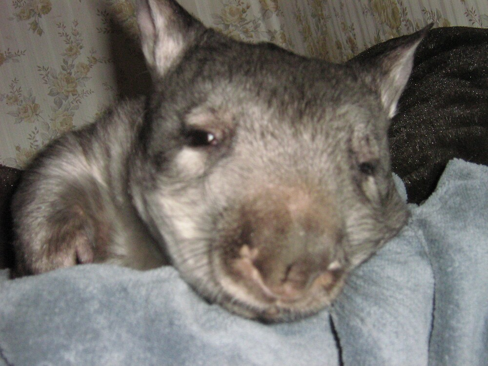Juvenile Southern Hairy-nosed Wombat by hairylabear
