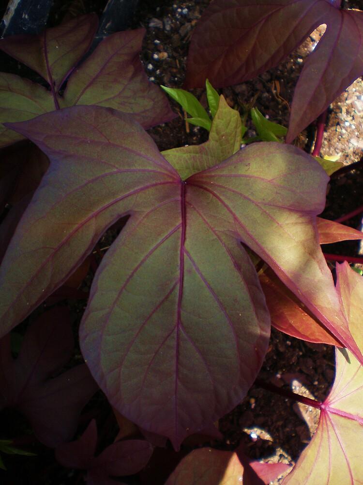 ornamental sweet potato by eagerlyawaiting
