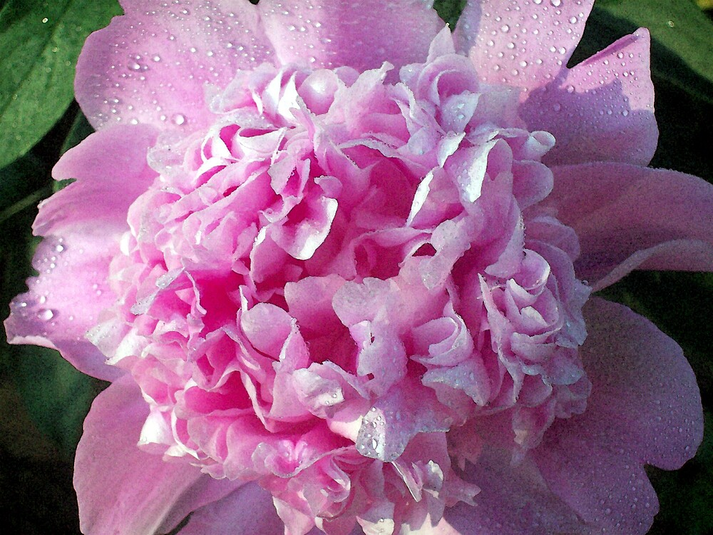 Photo of a Pink Peony by Michelle BarlondSmith