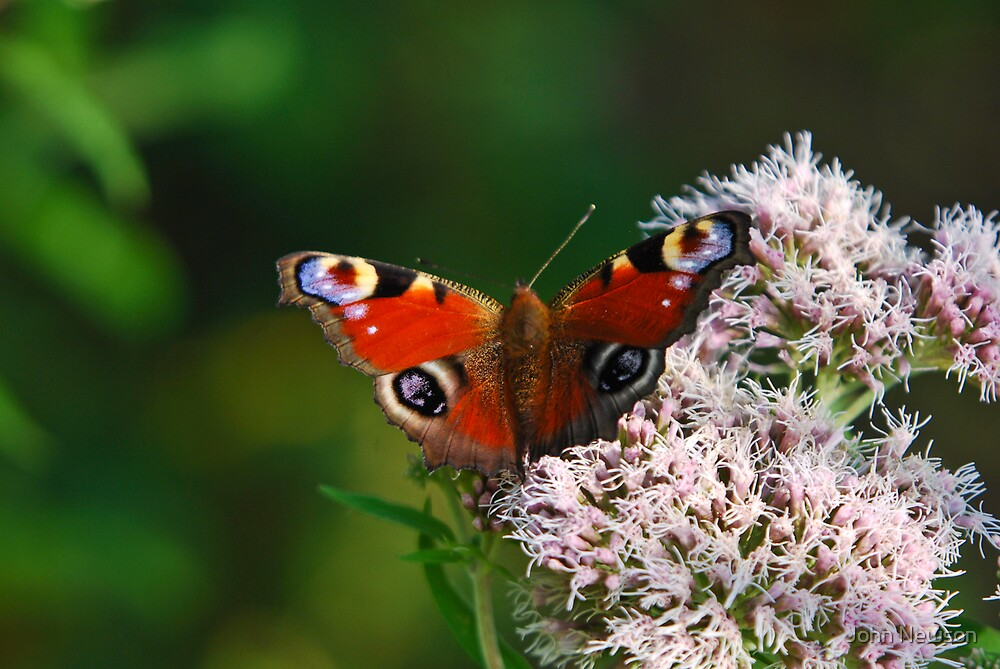 Peacock butterfly by John Newson