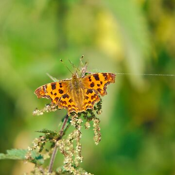 Comma butterfly by Jdn1000