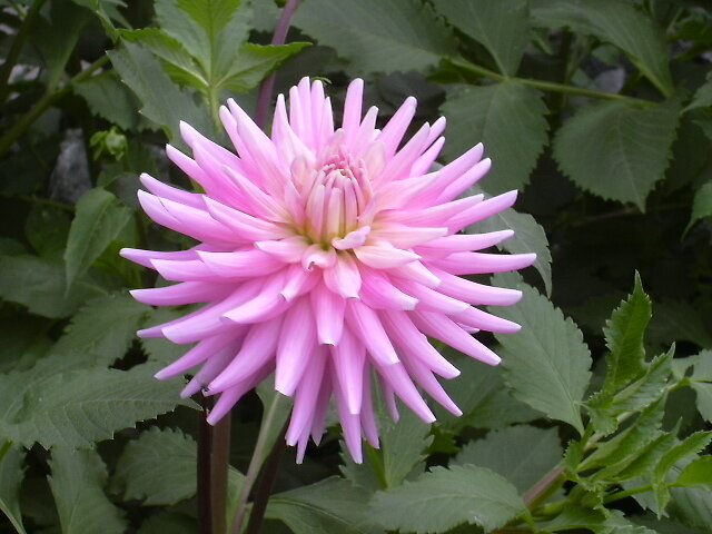 Pinky flower by aadhityan