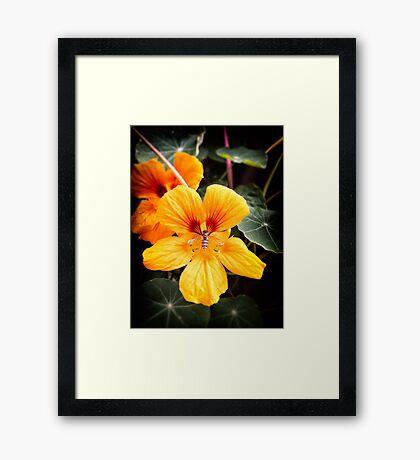 Bee in flower Framed Print