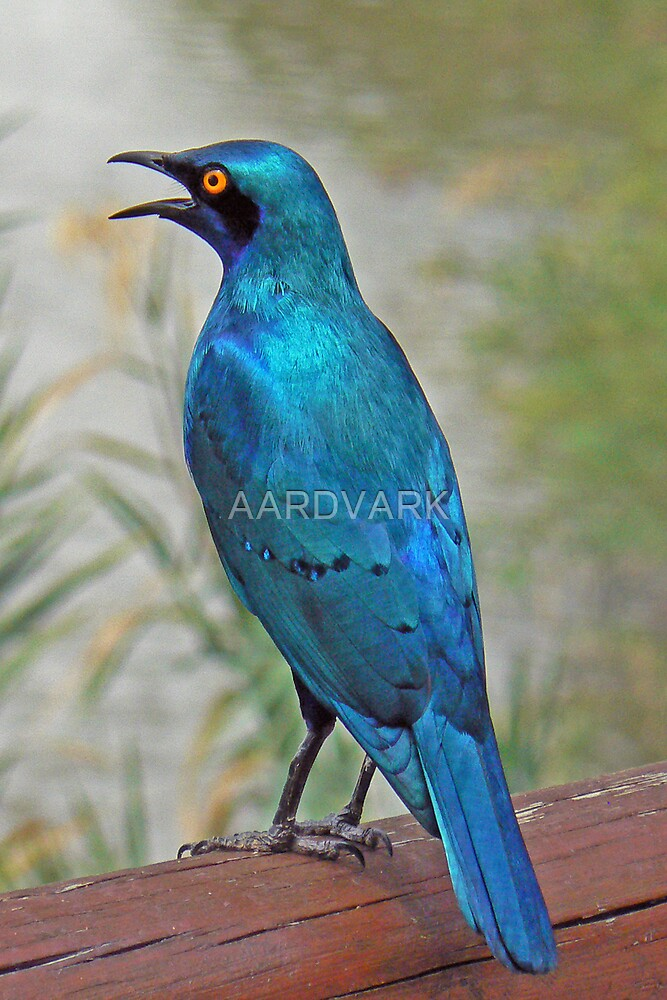 Glossy Starling  (III) by AARDVARK