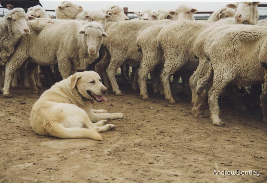 Sheepdog.    NOT ! by AndrewBentley