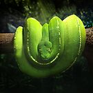 Green Tree Python by Roz McQuillan