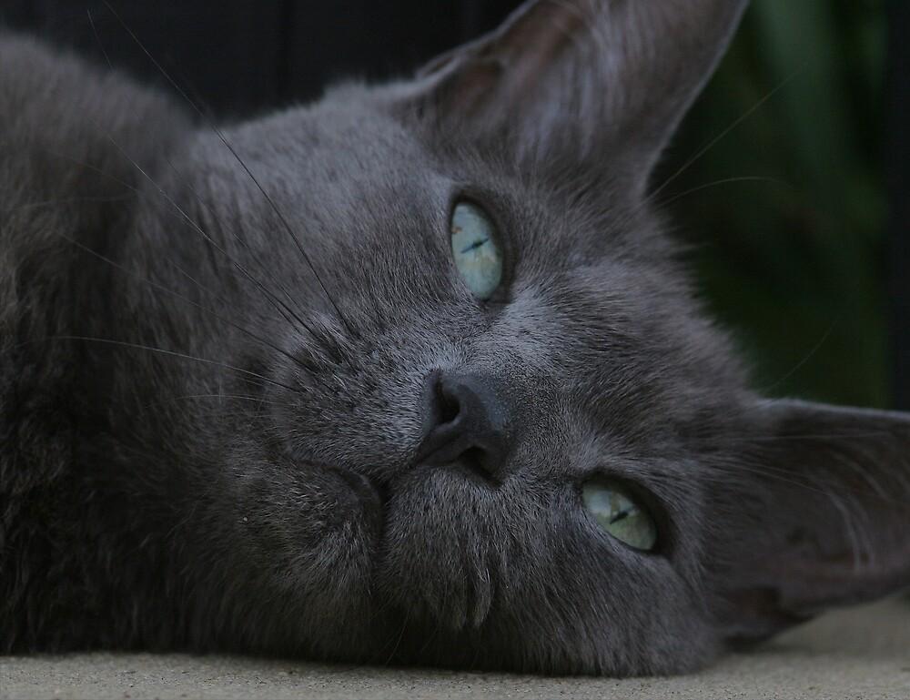Cat (Felis silvestris catus) 20D0028726 by Cristian