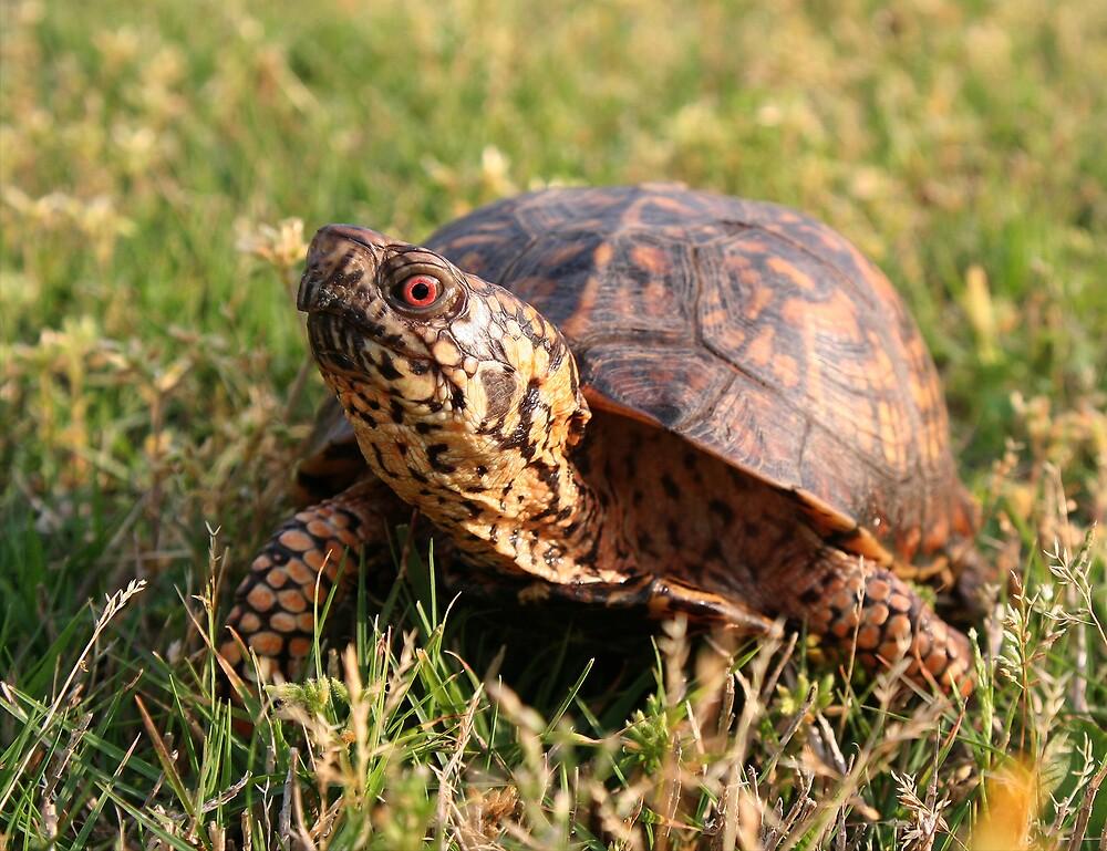 Eastern Box Turtle (Terrapene carolina carolina) XT0003823 by Cristian