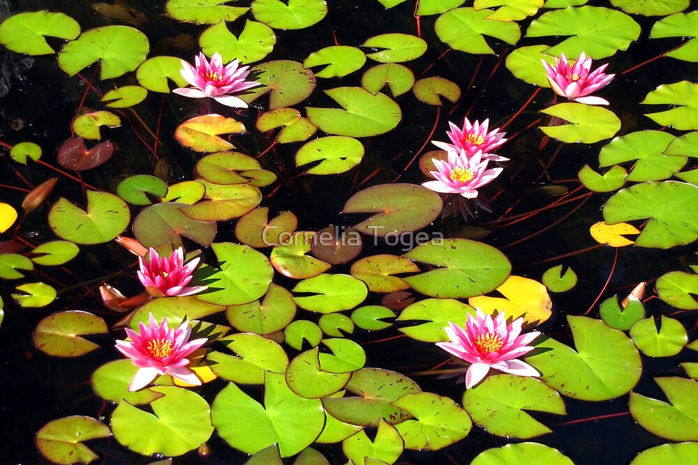 lily pond by Cornelia Togea