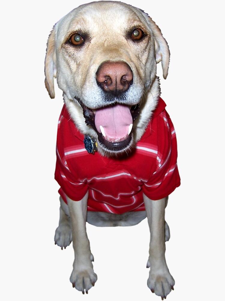 Glücklicher gelber Labrador-Labrador, der ein Polo schaukelt von hackeycard