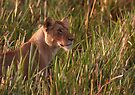 Lioness In The Marsh  by Steve Bulford