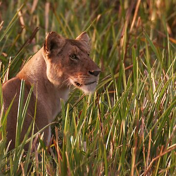 Lioness In The Marsh  by SteveBulford