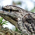 Tawny Frogmouth by Fran53