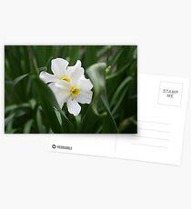 White Daffadils Postcards