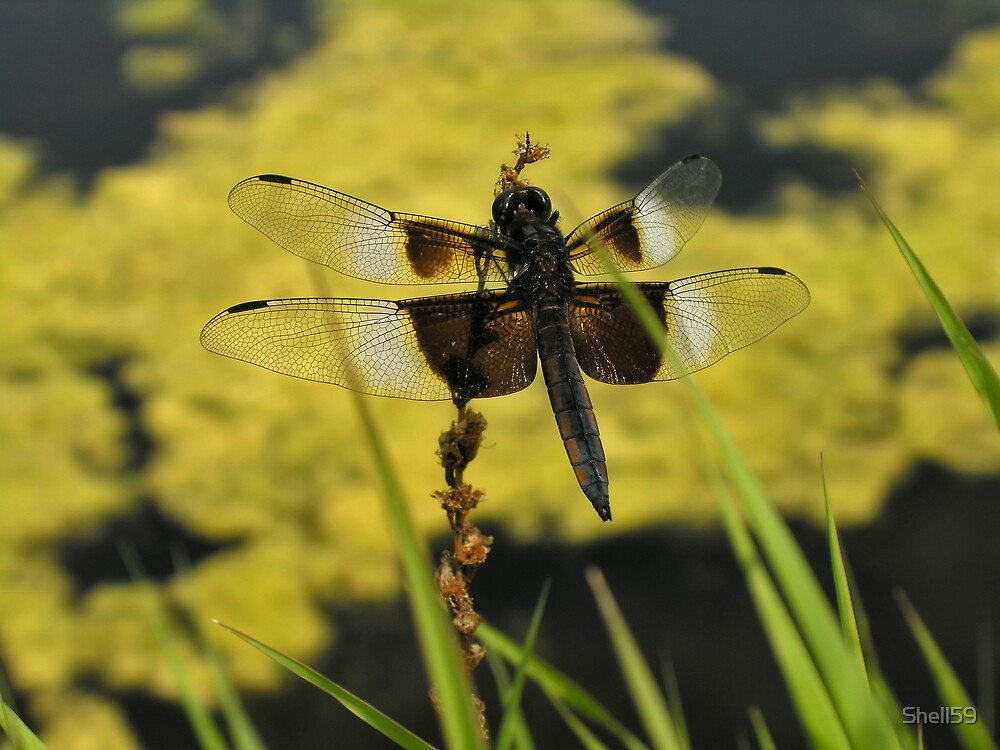 Dragonfly Beauty by Shell59