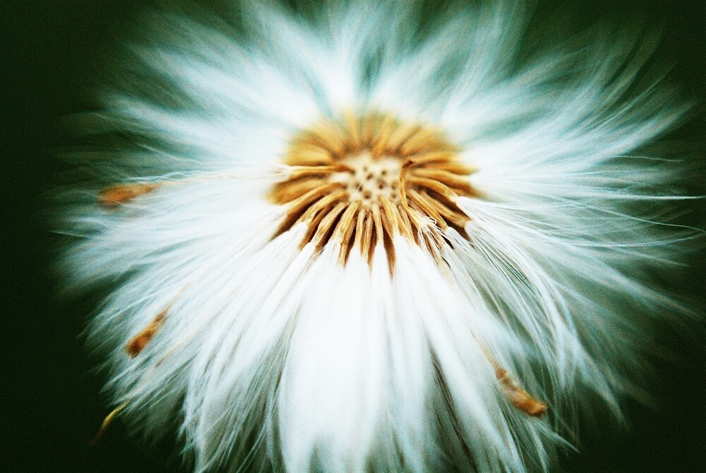 Roundy the dandelion by Stefan Chirila