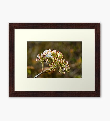 Beautiful Crabapple Buds and Flower Framed Print