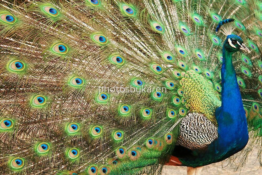 Beautiful Peacock by photosbykaren
