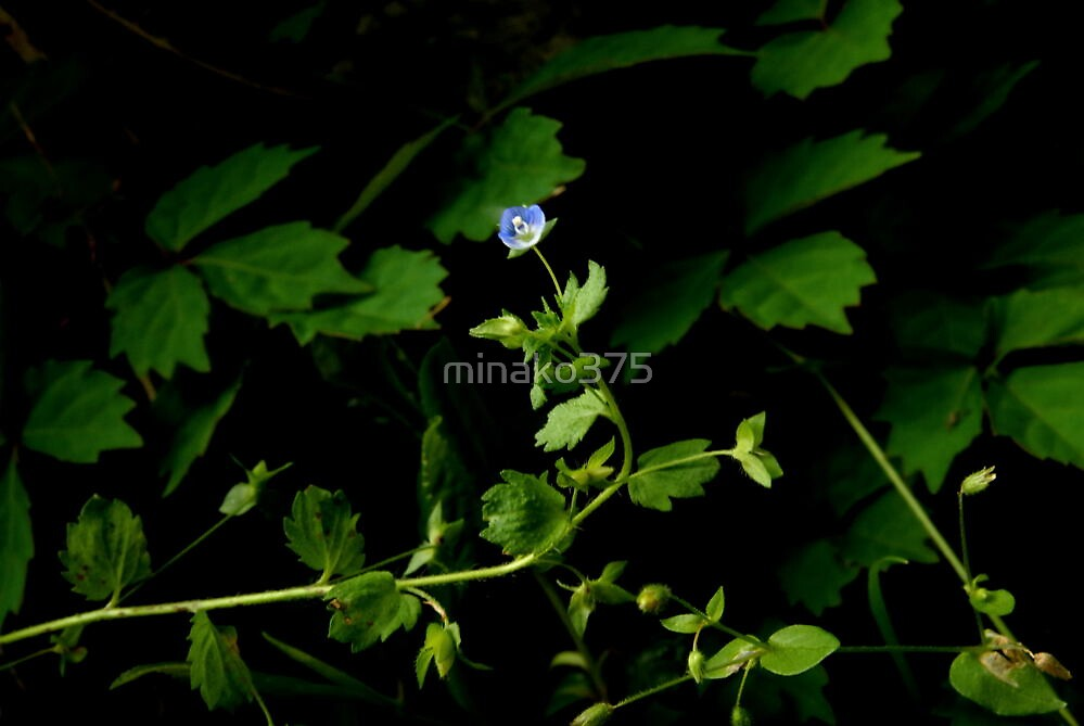 Small, blue flower by minako375