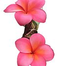 Frangipani Flowers by KazM
