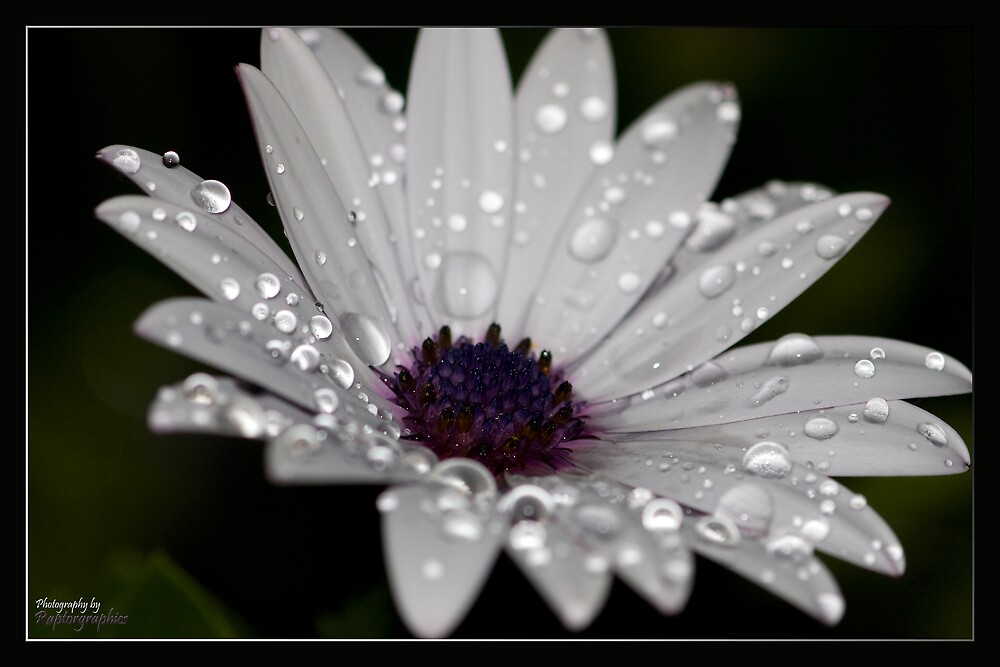 Pretty as a Daisy by Peter Ede